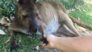 Australian Zoo djur skakar hans hand