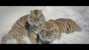 Drone & Tigers