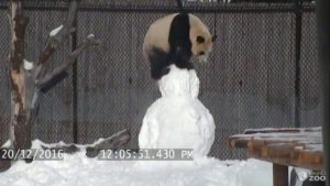 Giant Panda up Snowman