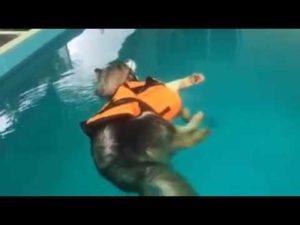 Husky, enquanto relaxa na piscina