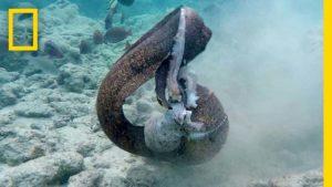 bläckfisk vs. Aal vs. kameraman