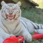 Christmas ball for big cats