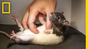 Was passiert, wenn man eine Ratte kitzelt