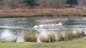 Como cisnes nadando a través del hielo