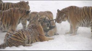 Sibierische tiikeri jahtaa sähköinen lintu