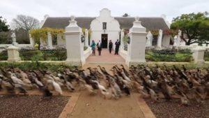 1000 Ducks running from right to left