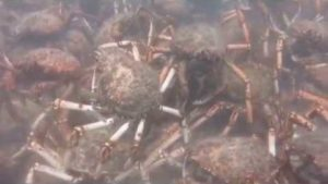 Spider crabs when tearing an octopus