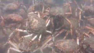 Spider krabber når rive en blekksprut