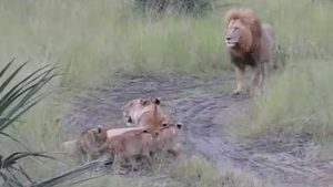If baby lions try as the Papa to roar