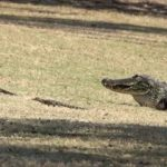 Alligator mother carries her 16 Babies over the golf course