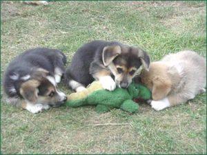Três cães de combate pegar jacaré na Flórida