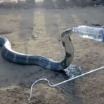 King Cobra drinking from a water bottle