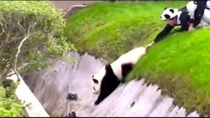 vídeo Panda narrado por Ozzy Man