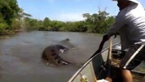 Riesige Anakonda in Brasilien
