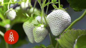 Wie Japans seltene, weisse Erdbeeren kultiviert werden