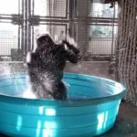 Gorilla Flashdance i Pool