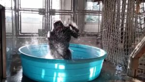 Gorilla Flashdance dans la piscine