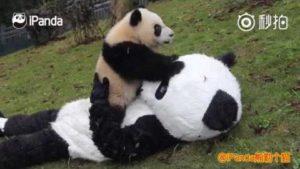 Um Baby-Pandas zu betreuen, verkleidet sich Tierpfleger als Pandas