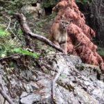 Møde med en cougar