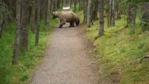 Mit einem wilden Grizzly und seinem Nachwuch durch den Wald wandern