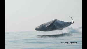 Bir kambur balina tamamen su çıkıyor ise