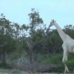 Weisse Giraffen