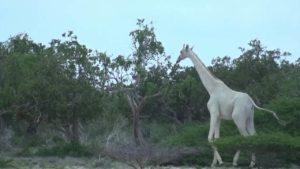 hvite giraffer