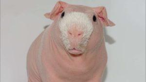 Pim, the hairless guinea pigs