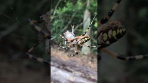Spinne fängt Kröte im Netz
