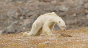 Herzzerreissendes Video zeigt verhungernden Eisbären in der eislosen Arktis
