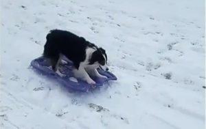 Denne hund elsker at kælkning det
