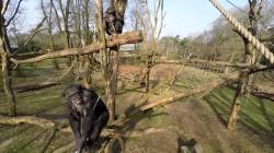 Catch the Drone: Schimpanse holt Drohne aus der Luft