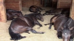 Die Glückseligkeit der Pferde: Furzen und Schnarchen